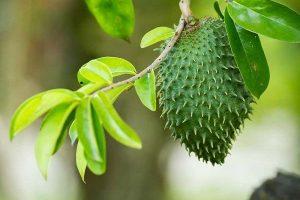 daun sirsak ramuan untuk asam urat